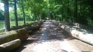 French oak logs ready to be collected by Barnesfield Timber